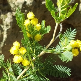 Acacia baileyeana X Acacia decurrens