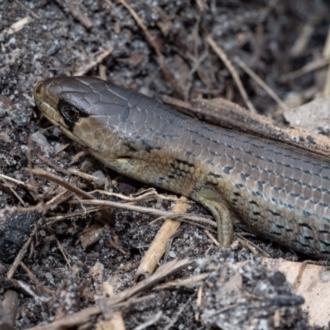 Cyclodomorphus michaeli