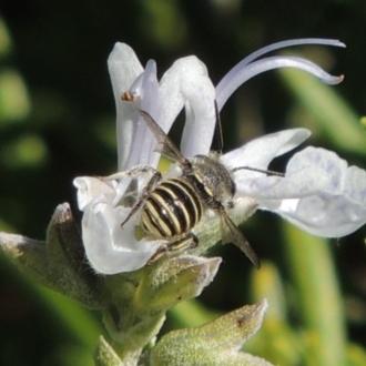 Afranthidium (Immanthidium) repetitum