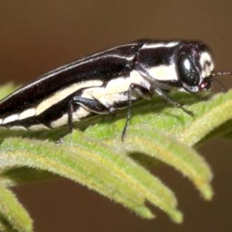Agrilus hypoleucus