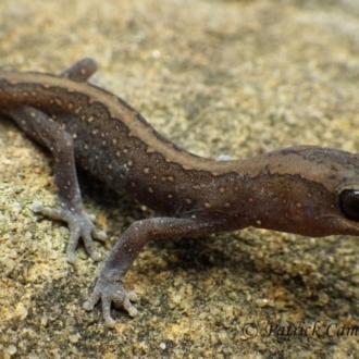 Diplodactylus vittatus