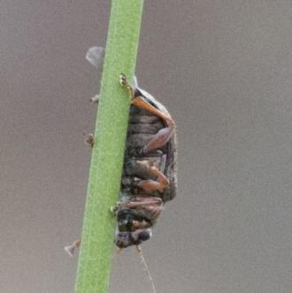 Acaena x ovina