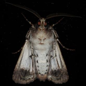 Agrotis porphyricollis