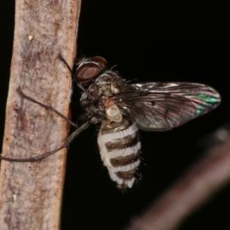 Entomophthora sp. (genus)