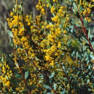 Acacia buxifolia subsp. buxifolia
