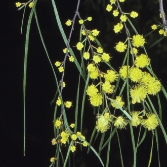 Acacia cognata