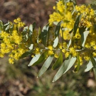Acacia covenyi