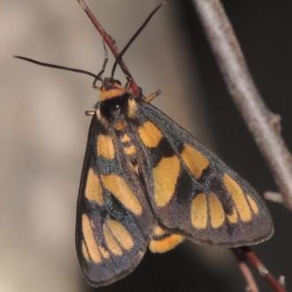 Amata (genus)