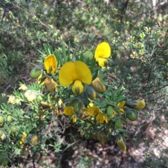 Leucochrysum albicans subsp. tricolor