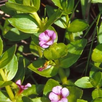 Gratiola peruviana