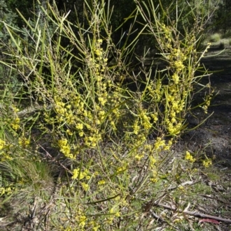 Acacia dawsonii
