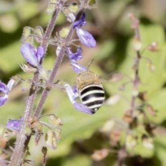 Amegilla (Notomegilla) chlorocyanea
