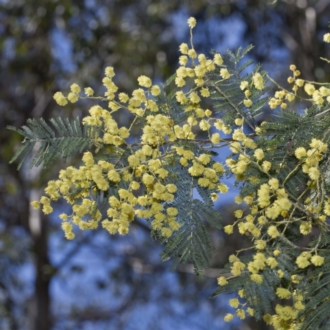 Acacia dealbata subsp. dealbata