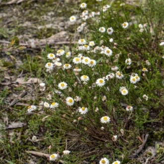 Helichrysum calvertianum