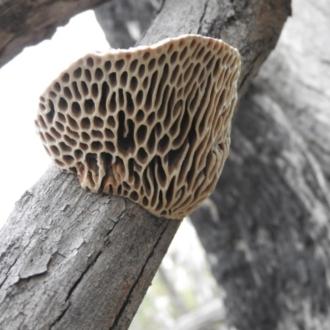 Hexagonia vesparia
