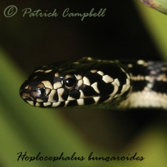 Hoplocephalus bungaroides