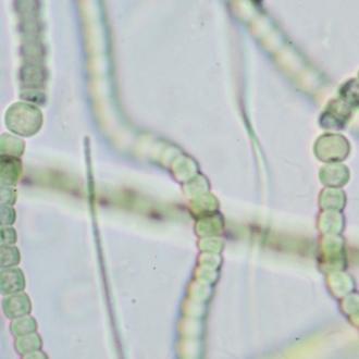 Anabaena sp.