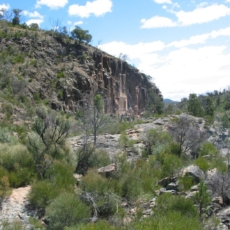 Acacia doratoxylon