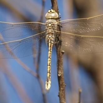 Anax papuensis