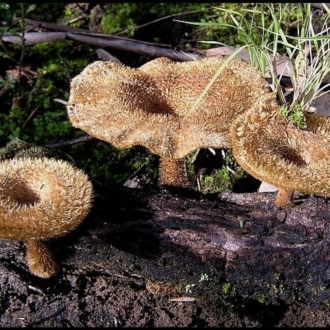 Lentinus fasciatus