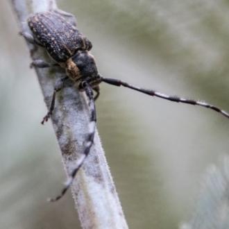 Ancita sp. (genus)