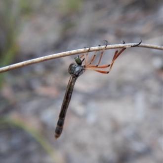 Leptogaster sp. (genus)