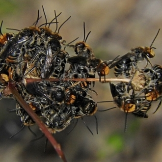 Lipotriches (Austronomia) australica