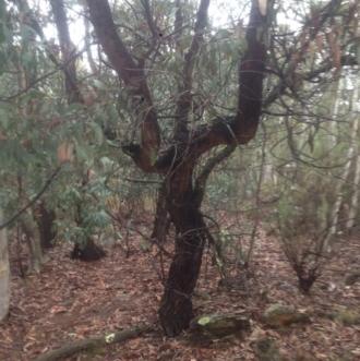 Acacia falciformis