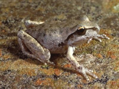 Litoria lesueuri (Lesueur's Tree-frog)