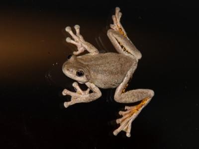 Litoria peronii (Peron's Tree-frog)