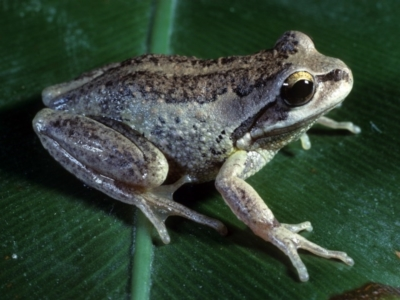 Litoria verreauxii verreauxii (Whistling Tree-frog)