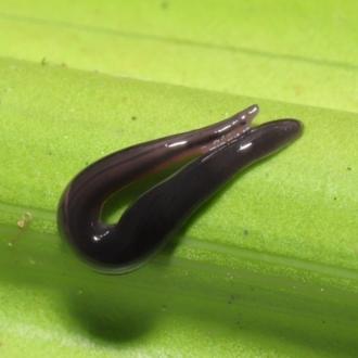 Anisorhynchodemus guttatus