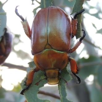 Anoplognathus montanus