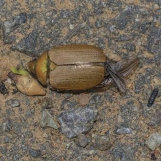 Anoplognathus pallidicollis