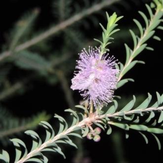 Pisolithus microcarpus