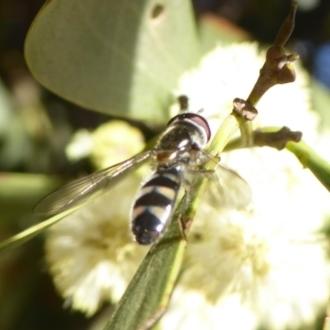 Melangyna sp. (genus)