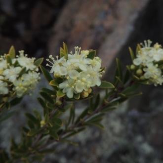 Chamaecytisus palmensis