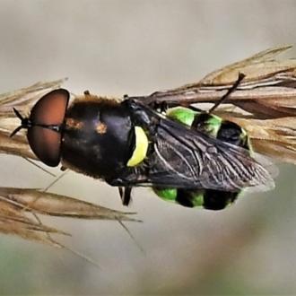 Odontomyia sp. (genus)